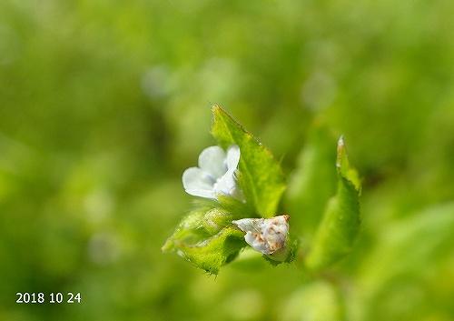 s-白い花20181024