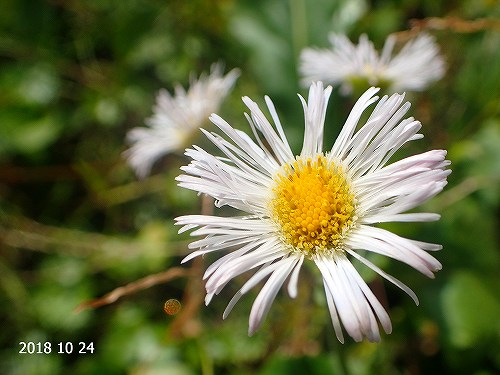 s-白い花③20181024