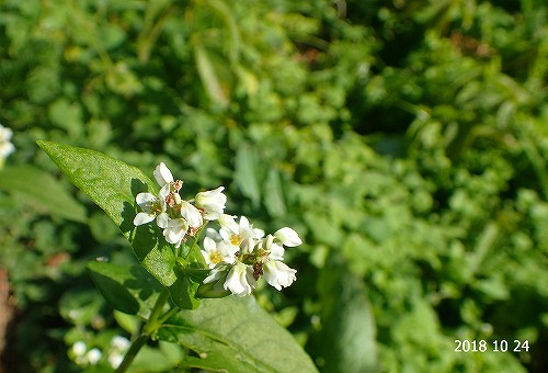 s-白い花④20181024