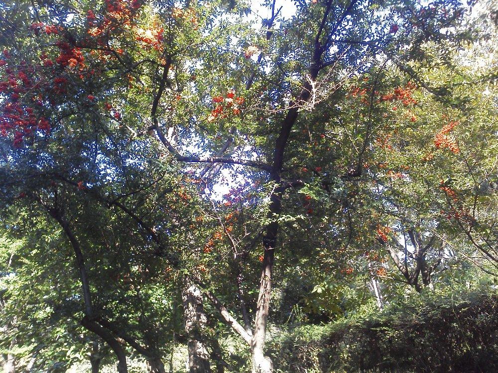 F1000083大泉中央公園10月5日ピラカンサ
