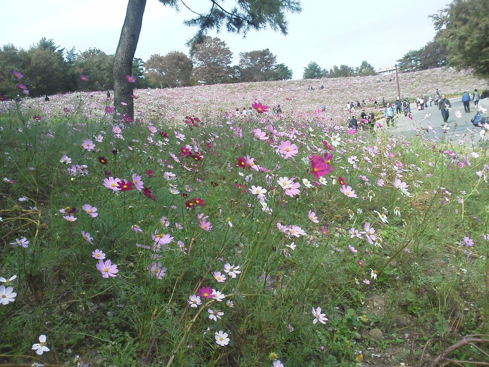 F1000149昭和記念公園10月26日花の丘コスモス