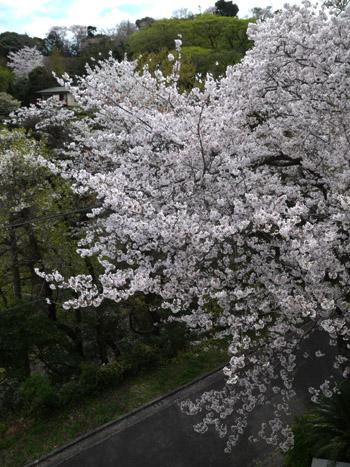 2016sakura02.jpg