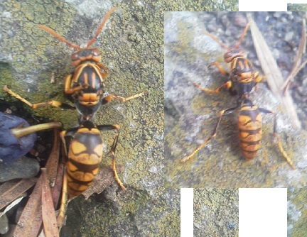 181015 羽のないアシナガバチ