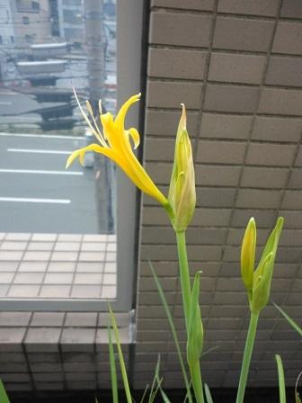 黄色の彼岸花⑤