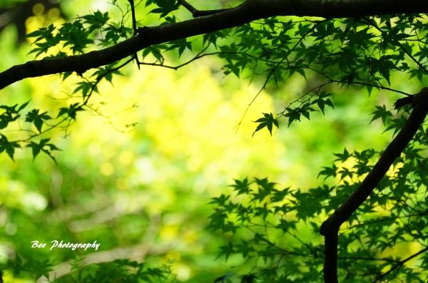 bee-高尾山-ジャケツイバラ8578