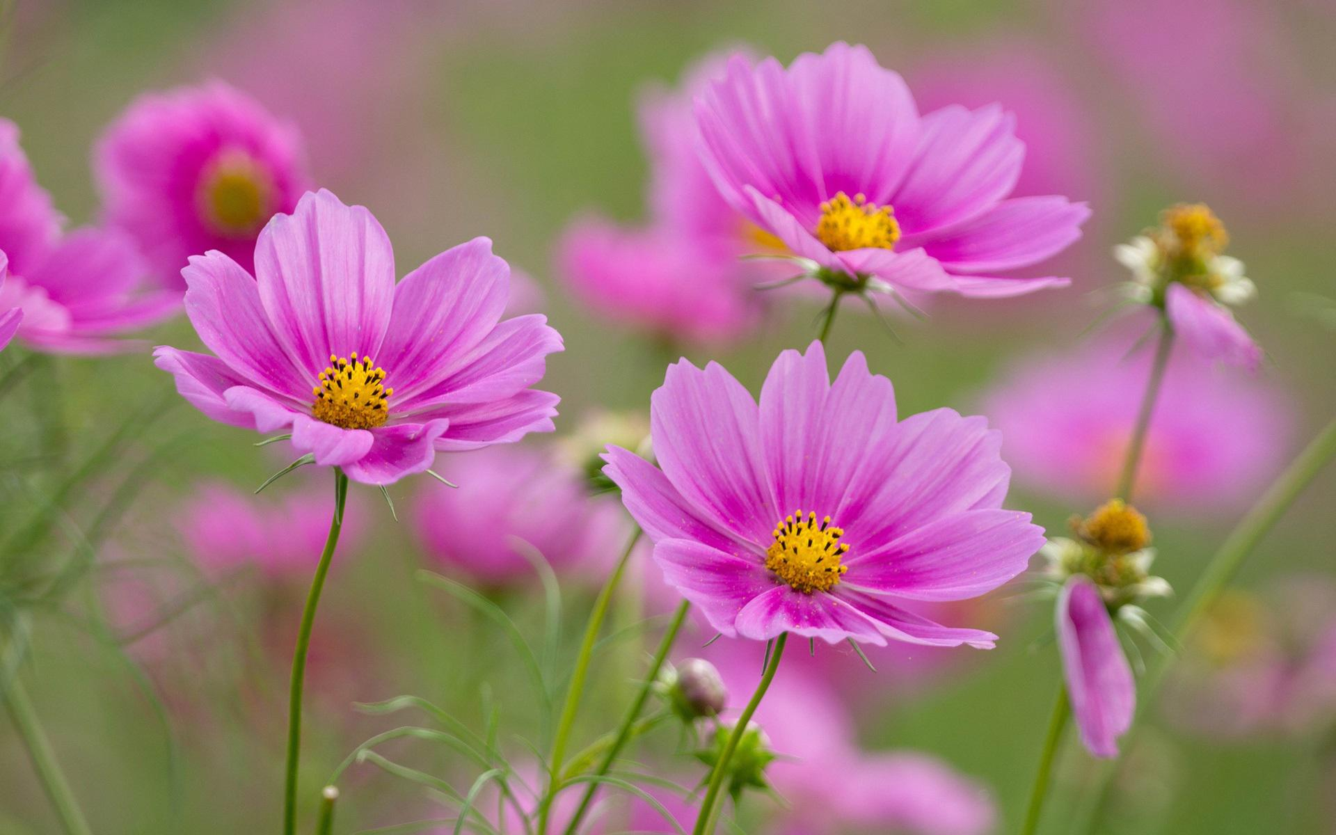 pink-cosmos-flowers-wallpaper-1.jpg