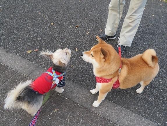 1A03 メイちゃん 柴犬6才10.29 1027