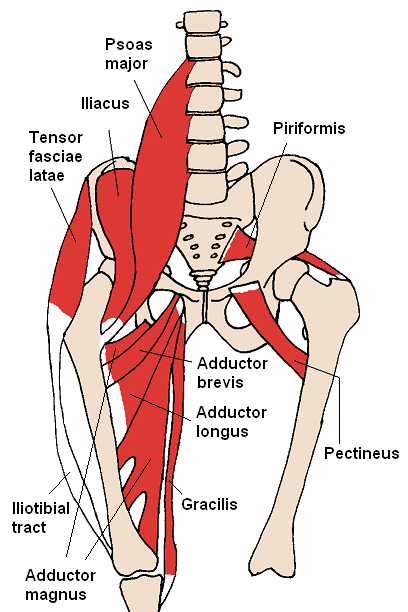 Anterior_Hip_Muscles_2.png