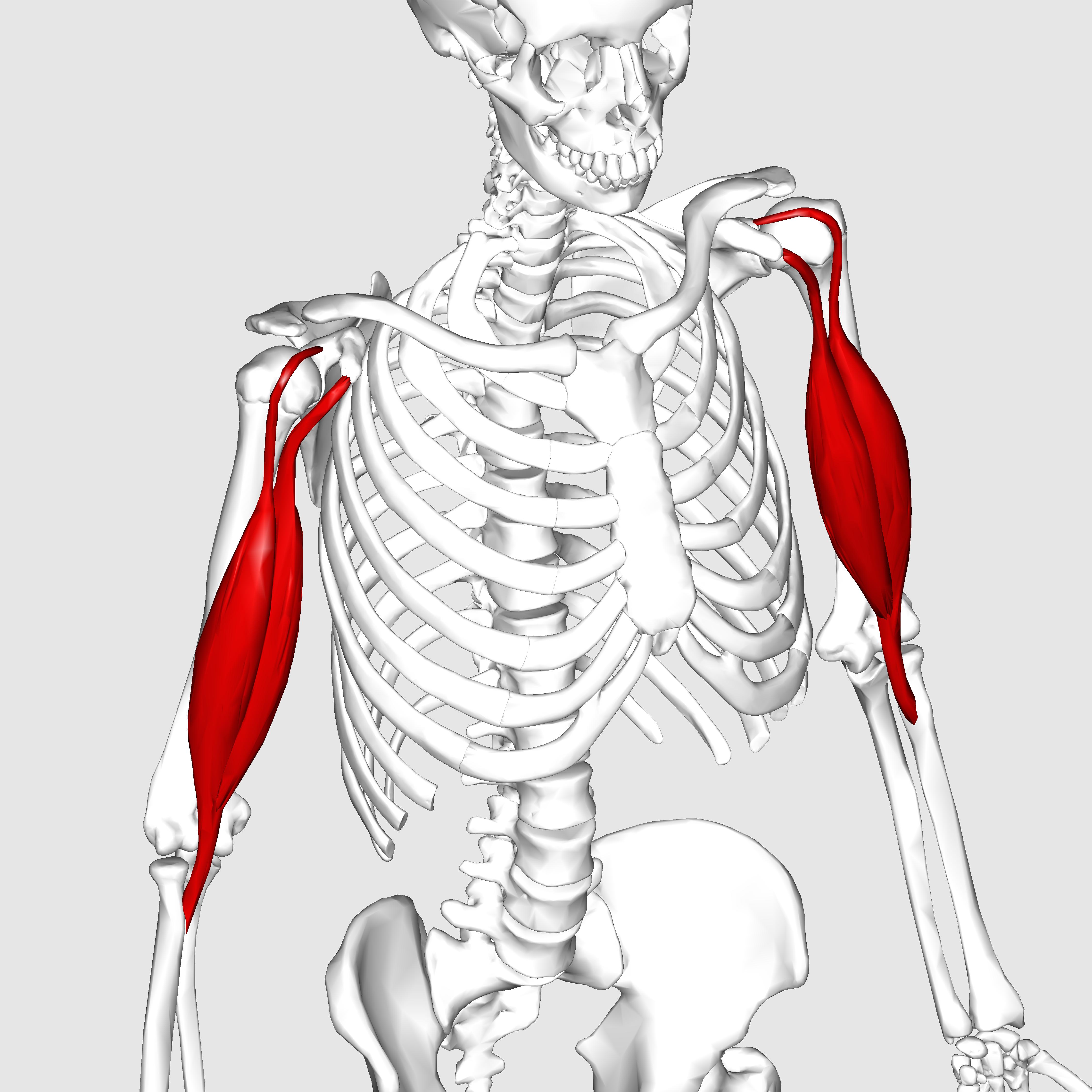 Biceps_brachii_muscle02.png