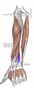 Extensor_indicis_muscle.png