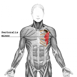 Pectoralis_minor_2016063023081567a.png