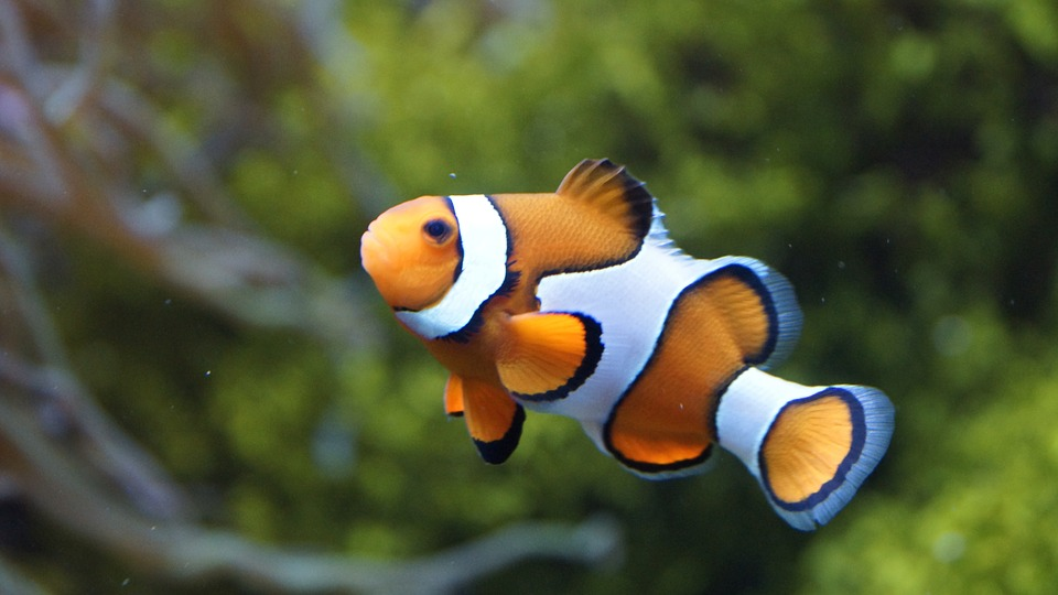 clownfish-426567_960_720.jpg