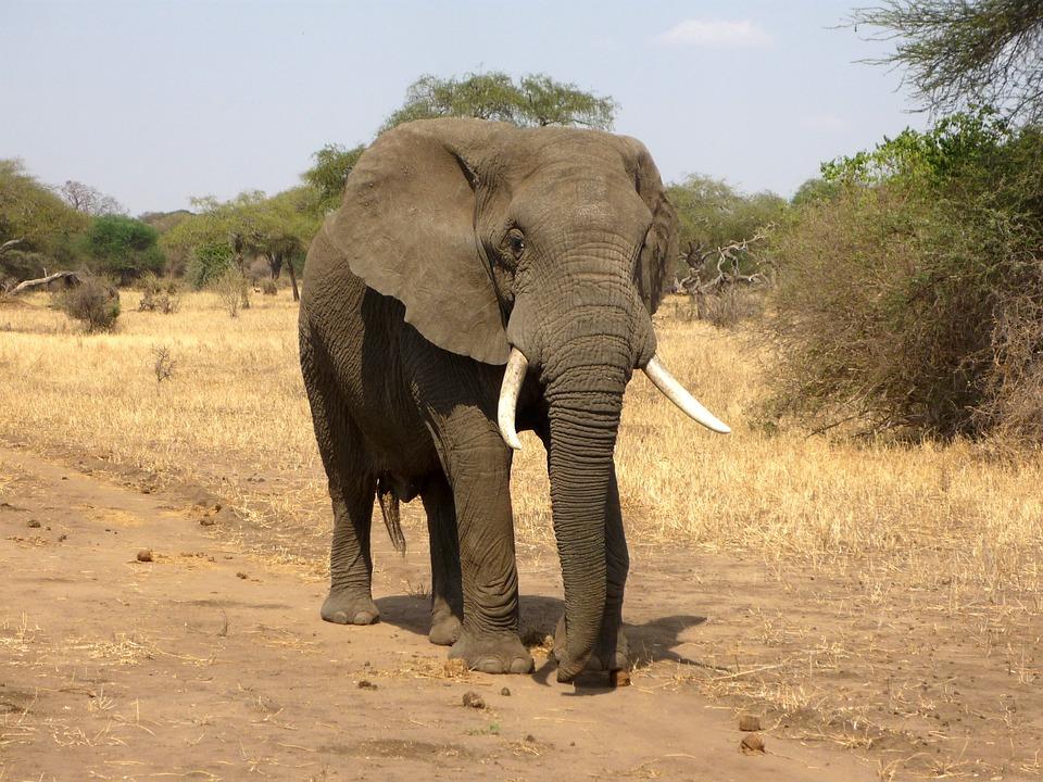 elephant-114543_960_720.jpg