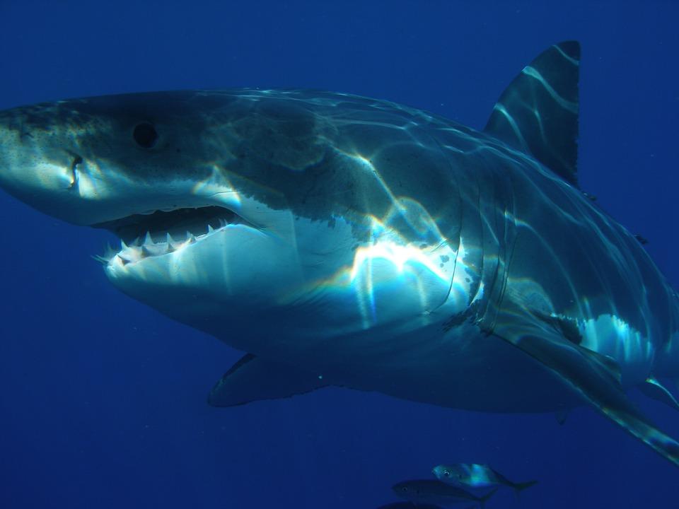 great-white-shark-398276_960_720.jpg