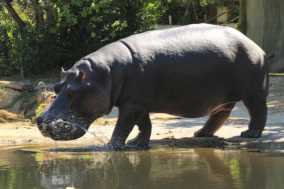 hippopotamus-1172611_960_720.jpg