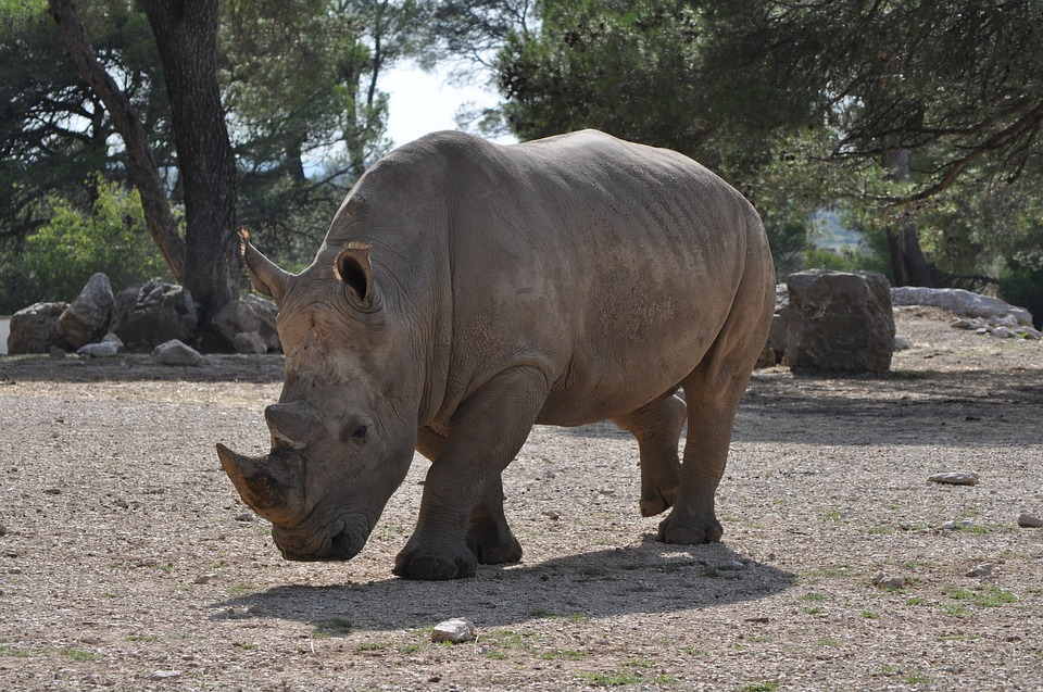 rhinoceros-1163385_960_720.jpg