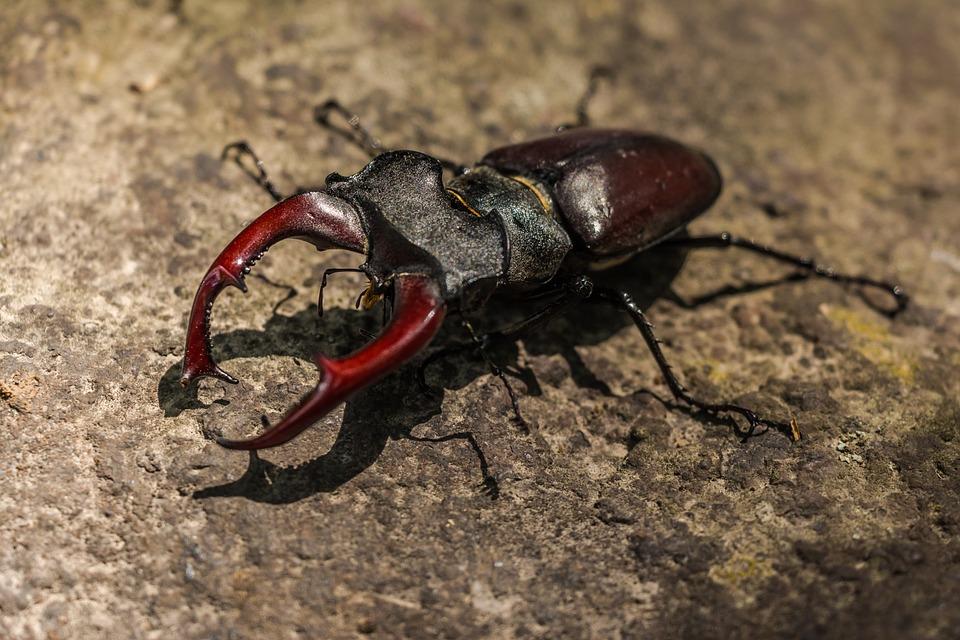stag-beetle-383984_960_720.jpg