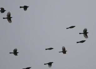 ヒヨドリの群れの渡り(鵲)