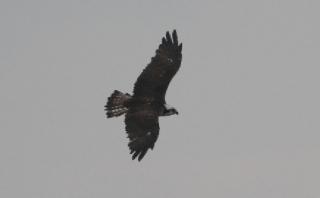 空を飛翔するミサゴ(鵲)