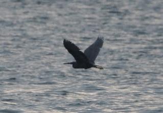 海上を飛ぶクロサギ(鵲)
