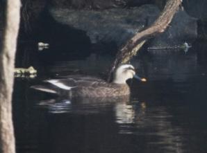 池で見かけたカルガモ(鵲)