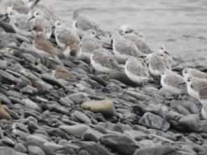 休息するミユビシギの群(源)