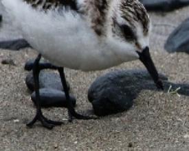 ミユビシギの足(鵲)