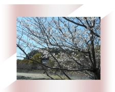 池のほとり桜
