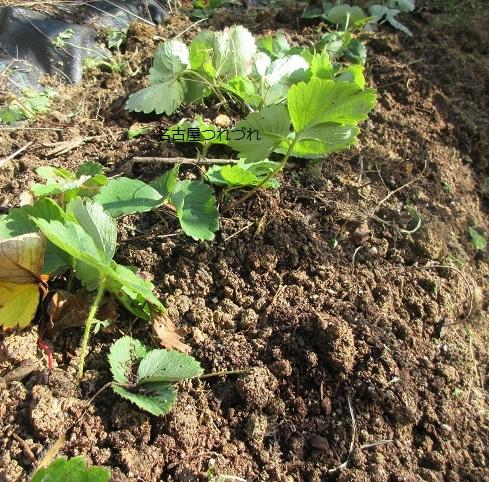 イチゴ植え替え