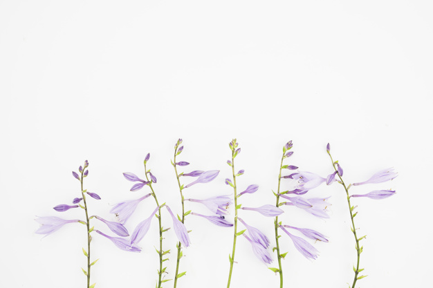 close-up-of-purple-flowers-on-white-background_23-2147893818.jpg