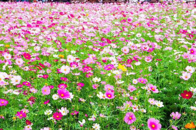 cosmos-flower-white-pink-color_49071-48.jpg