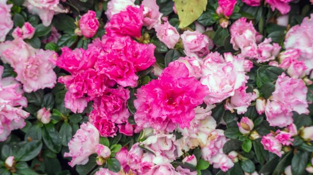 pink-azalea-flower-in-a-garden_42546-1013.jpg