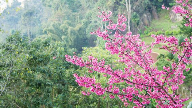 pink-cherry-blossom-sakura-in-a-garden_42546-1020.jpg