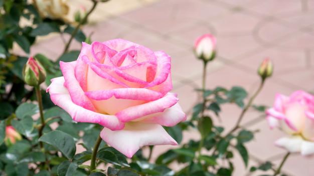 pink-roses-flower-in-the-garden_42546-1016.jpg