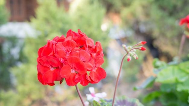 red-geranium-flower-in-a-garden_42546-1011.jpg