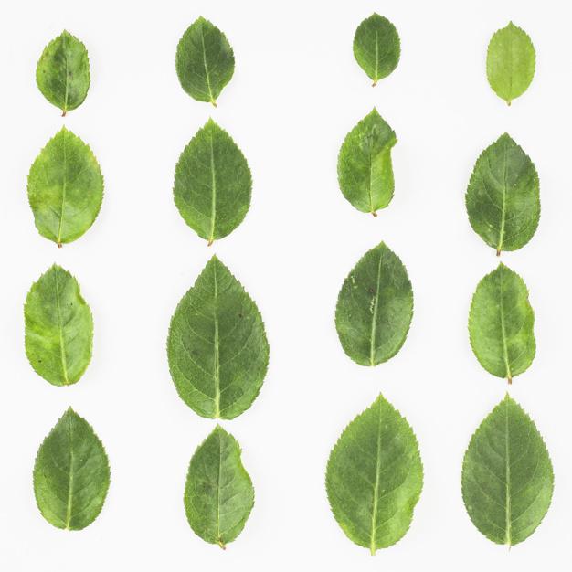 row-of-green-roses-leaf-on-white-background_23-2147893937.jpg