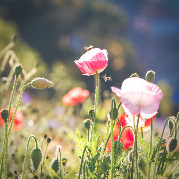 soft-focus-vivid-poppy-on-the-field-with-with-bokeh-light-effect_35641-1462.jpg
