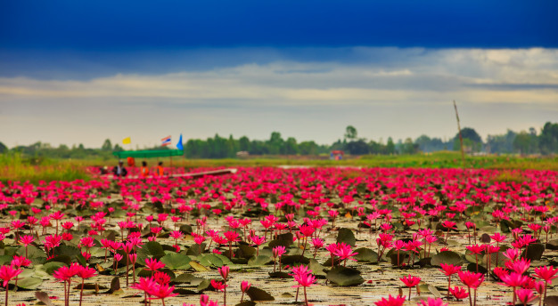 sunshine-rising-lotus-flower-in-thailand_42044-3644.jpg