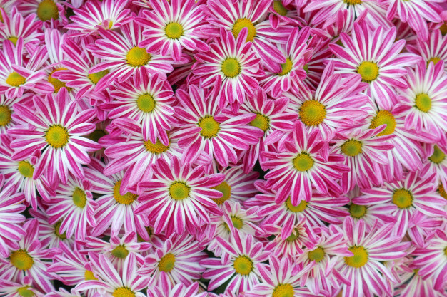 top-view-of-pink-whtie-daisy-flowers-background_25920-790.jpg
