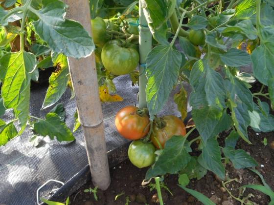 160702 トマト