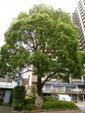 JR平井駅 創立拾五周年記念 贈区の木くすの木
