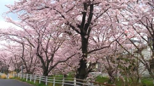 桜並木 (1)