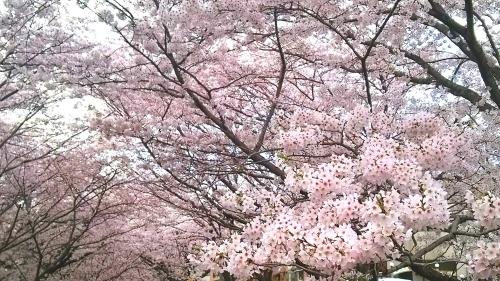 桜並木 (3)
