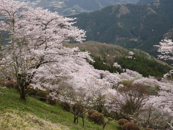 桜山でお花見タイム