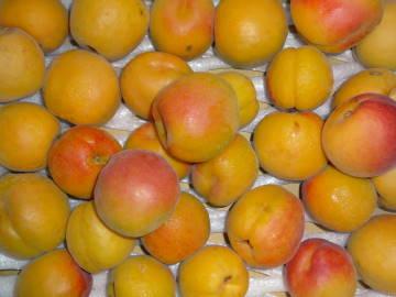apricot22l.jpg