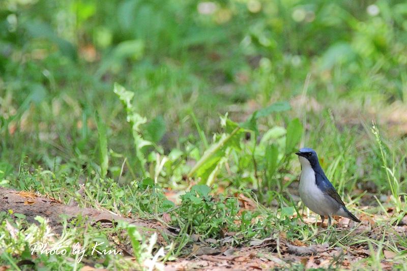 公園の鳥さん~コルリ~