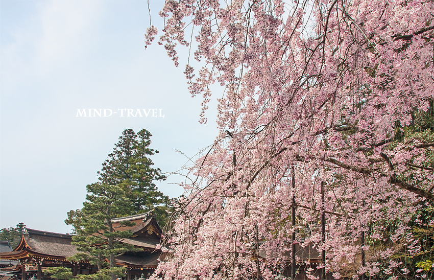 多賀大社 枝垂れ桜