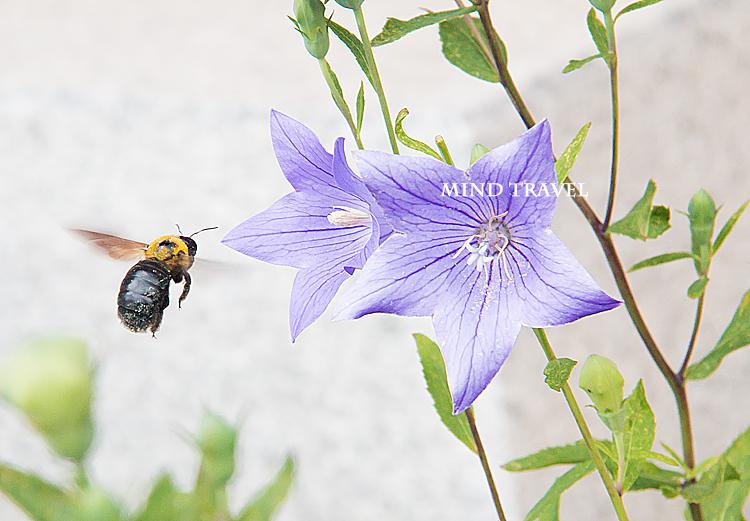 晴明神社 桔梗と蜂