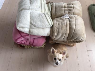 梓様毛布クララ