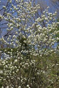 160415白い花の木1